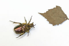 Chafer on white Background. Macro shot. May beetles, or May crunches Latin Melolontha - a kind of insect family of lamelliformes, living in Europe and Asia Stock Photos