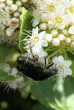Chafer on a white flower Royalty Free Stock Photography
