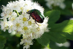 Chafer on a white flower Stock Photography