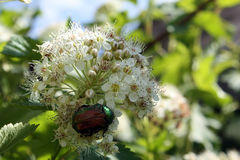 Chafer on a white flower Royalty Free Stock Photos
