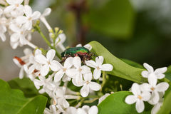 Chafer on a white lilac. Close up Stock Photos