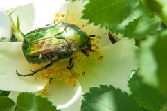 Chafer on a white Spring Flower dog rose Royalty Free Stock Photos