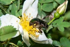 Chafer on a white Spring Flower dog rose Stock Images