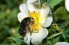 Chafer on a white Spring Flower dog rose Royalty Free Stock Photo