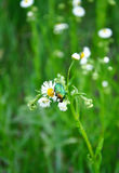 Chafer on wild camomile. For your design Stock Images