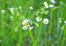 Chafer on wild camomile. For your design Stock Photography