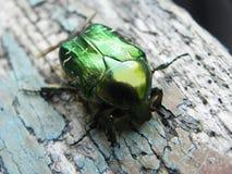Chafercloseup Dessa skalbaggar visas endast på våren royaltyfri foto