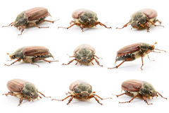 Chafers isolated on white Stock Image