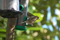 Chafffinch 免版税图库摄影