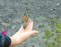 Chaffinch που είναι χέρι που ταΐζεται στοκ φωτογραφία με δικαίωμα ελεύθερης χρήσης