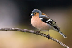 chaffinch Photographie stock