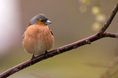 Chaffinch Stockbild