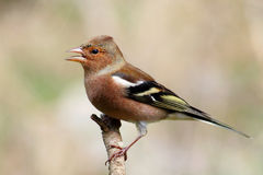 Chaffinch. Colorful male bird, singing on a branch royalty free stock image