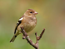 Chaffinch Immagine Stock