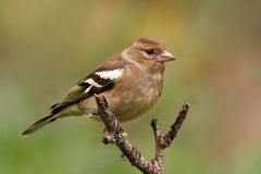 Chaffinch photographie stock libre de droits