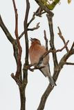 Chaffinch Lizenzfreie Stockfotos