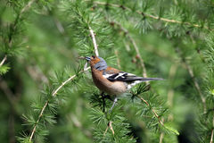 Chaffinch. Stock Photo