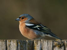 Chaffinch Photo stock