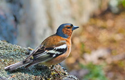 Chaffinch Royalty Free Stock Photos