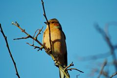 A Chaffinch Stock Photography
