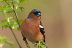 Chaffinch. Bird perching on the twig with leaf royalty free stock photo