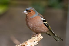 Chaffinch. Posing on a branch Royalty Free Stock Image