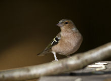 Chaffinch. Is perching on a tree branch stock photos