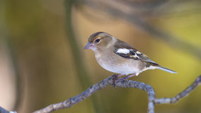 Chaffinch Stockbilder