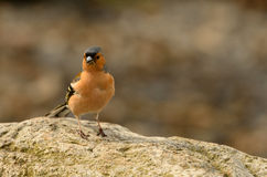 chaffinch Stock Foto's