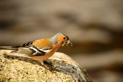 chaffinch Royalty-vrije Stock Afbeelding