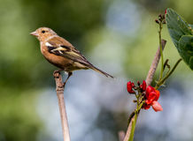 chaffinch Imagens de Stock Royalty Free