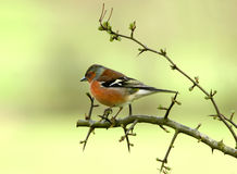 The Chaffinch. A male chaffinch sitting on the branch of a hawthorn tree in spring stock image