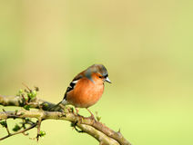 The Chaffinch. Male chaffinch sitting on the branch of a hawthorn tree in spring stock photo