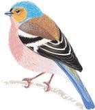 chaffinch royalty-vrije illustratie