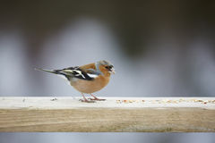 chaffinch royalty-vrije stock fotografie