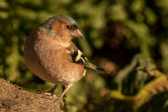 chaffinch Fotografia Stock