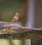 Chaffinch. This radiant Chaffinch was captured at a RSPB reserve in Wales, UK stock images