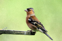 Chaffinch. Photos stock