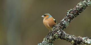 chaffinch Imagem de Stock Royalty Free