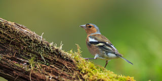 chaffinch Fotografie Stock