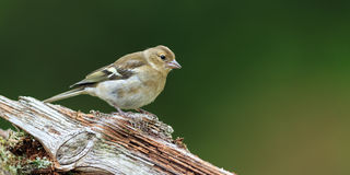 chaffinch stock fotografie