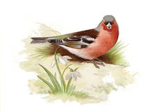 Free Chaffinch Royalty Free Stock Images - 8557919