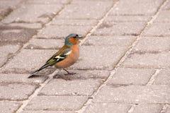 chaffinch Стоковые Изображения RF