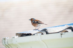 chaffinch Stockfotos