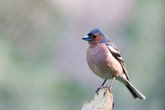 Chaffinch Images libres de droits