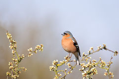 Chaffinch amongst the blossom. A chaffinch siiting amongst spring blossom, taken with a shallow DOF Stock Photos