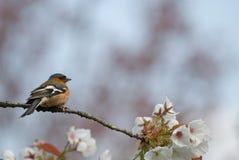 Chaffinch au printemps photo stock