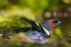 Chaffinch bathed. Finch bathing in a puddle Royalty Free Stock Images