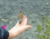 Chaffinch being hand fed. In Scotland royalty free stock photo