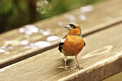 Chaffinch on a bench Stock Images